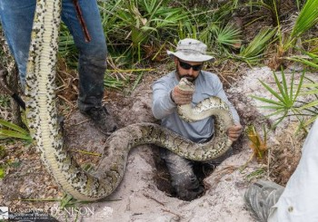 Record python captured in Florida removal effort