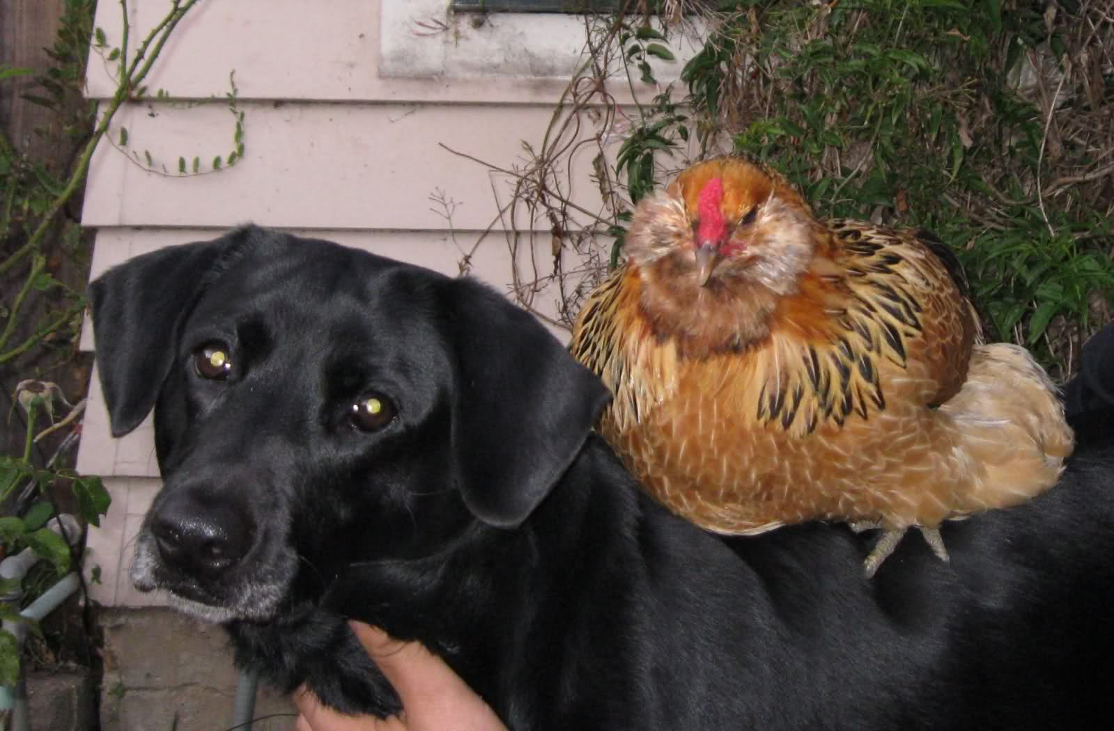 Salmonella dogs and chickens