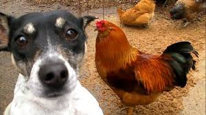 salmonella chickens and dogs