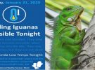 Look Out- Falling Iguanas in Florida