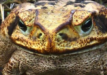 Giant Cane Toad Warning